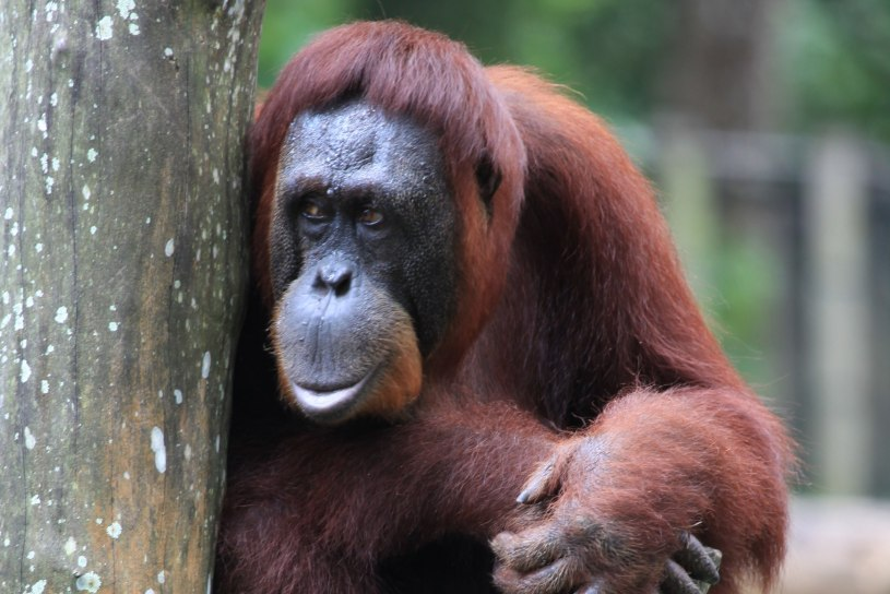 Orangutang in the zoo