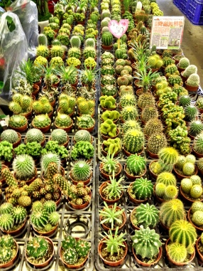 Cactii at the holiday flower market, Taipei