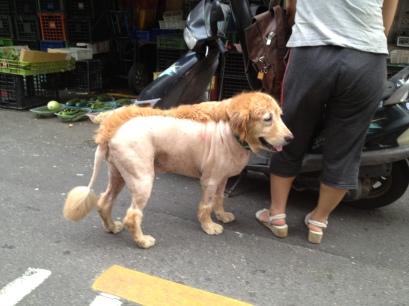 Lion or dog?