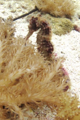 Traditional seahorse, the pygmies, size of finger nail, too small for Ross's camera, and that's a first! Failure, I mean!