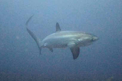 Thresher shark in the deep blue