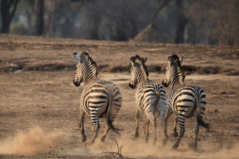 Lovely Zebra