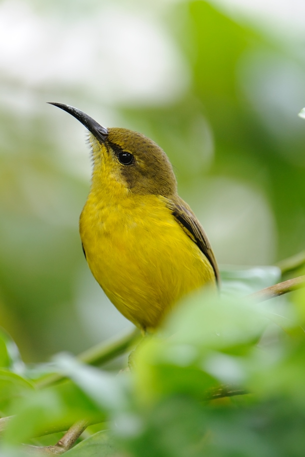 This darling sunbird, sometimes joined by its mate, comes to sing to me every morning on the balcony. Its yellowness reminds me of Louise...