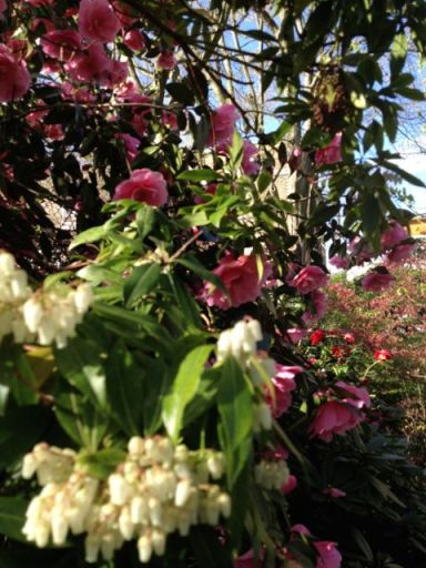 Pieris and camellia Donation in the garden of parkhill road