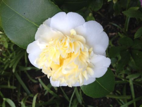 Beautiful camellia my mother gave me
