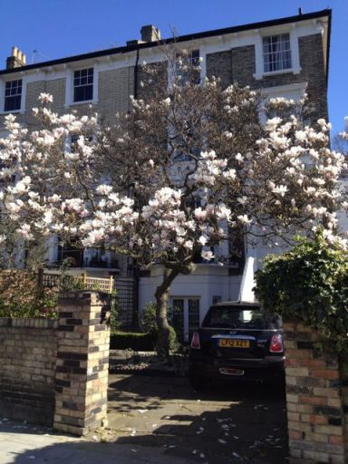 Magnolia tree in full bloom, before the wind blew the petals off