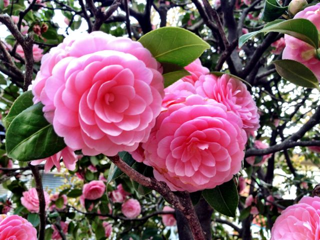 Camellias in teh Senso-ji shine