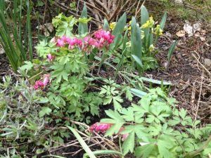 Dicentra in my spring garden