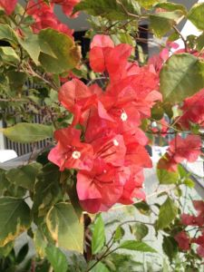 My bougainvillea has burst into flame coloured blooms