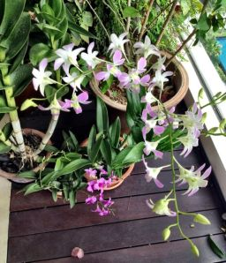 New orchids to brighten the balcony