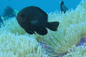 Black anemone fish