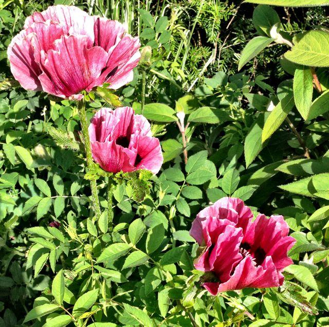 Opulent poppies