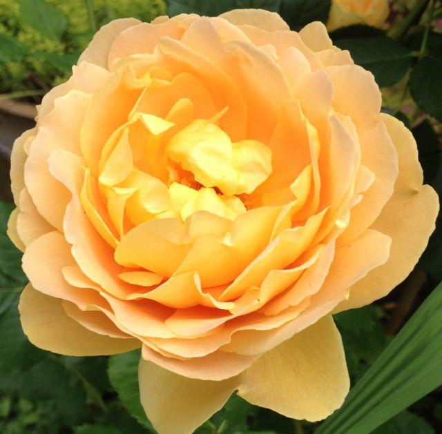 The beautiful rose Felcity Kendal gave us in Louise's memory