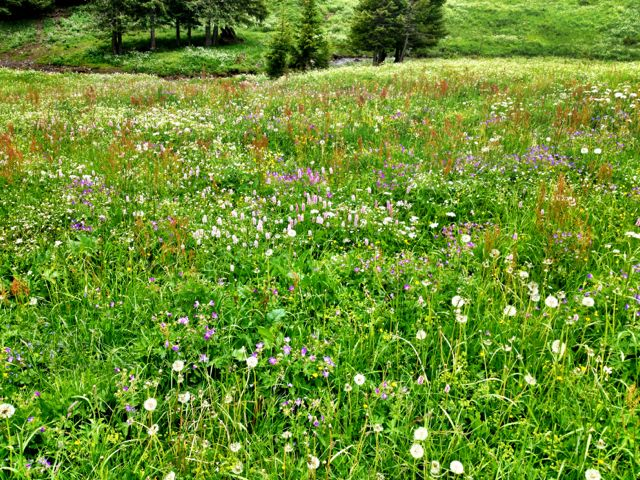 Carpets of wild flowers