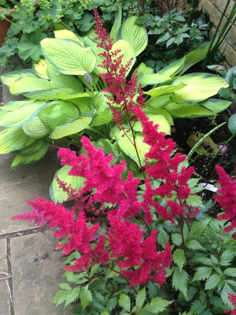 The astilbe is a gorgeous deep red against t the lime green