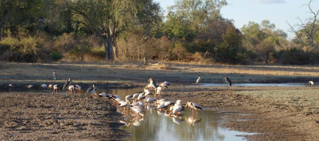 Marabou and Yellow-billed storks at Heartbreak Pan