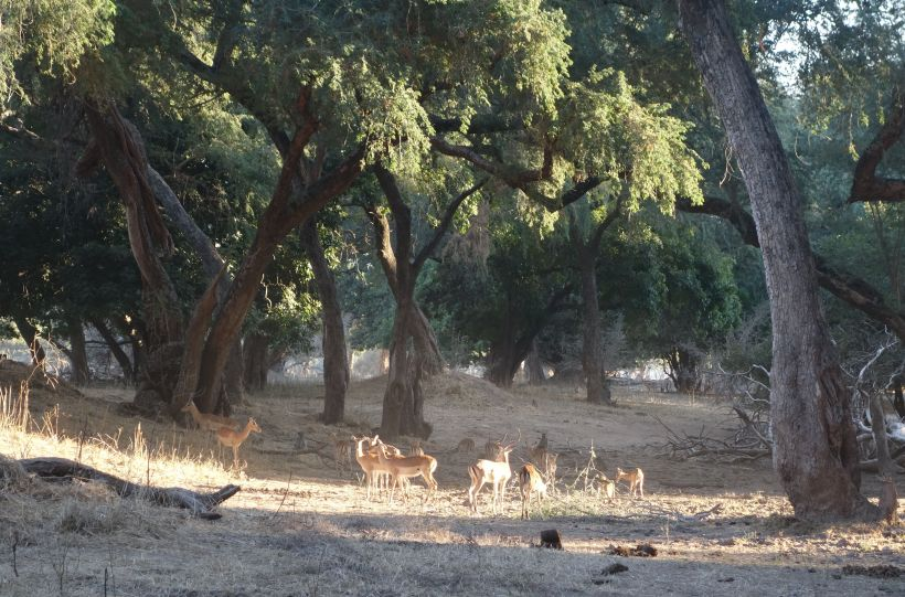 impala catch the late afternoon sunshine