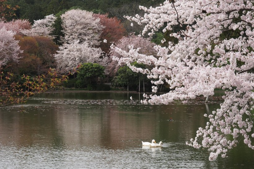 Another tranquil scene to get me back in the Zen zone - Kyoto in cherry blossom