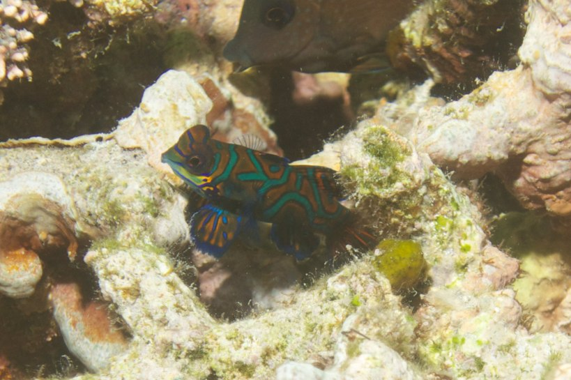 the elusive mandarin fish