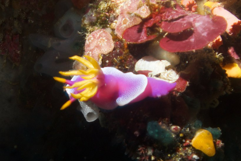 gorgeous nudibranch