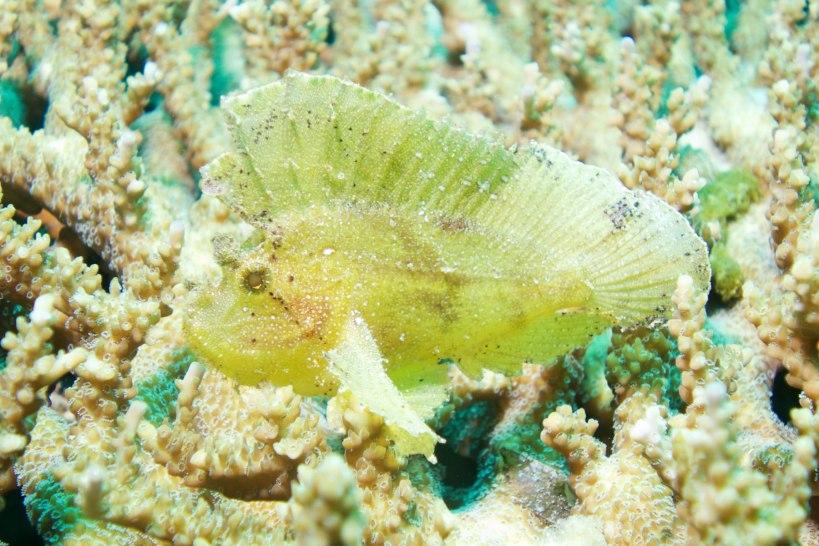 Leaf stone fish - amazing camouflage