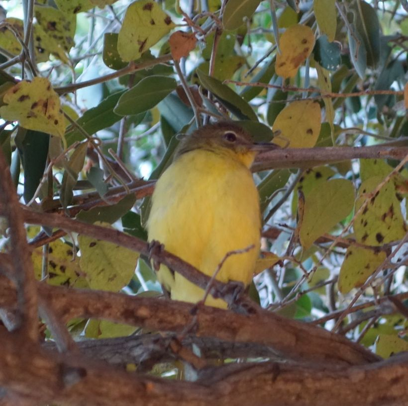 Yellow bellied bulbul in camp