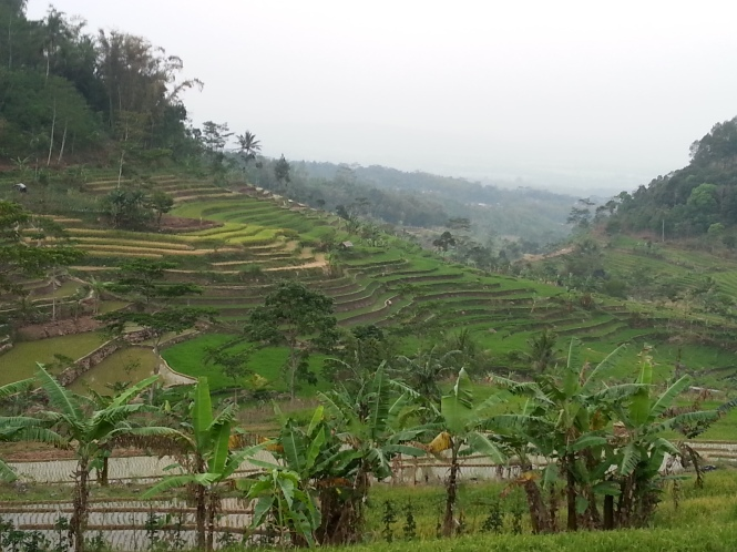 Paddy fields on the way up to Selegriyo