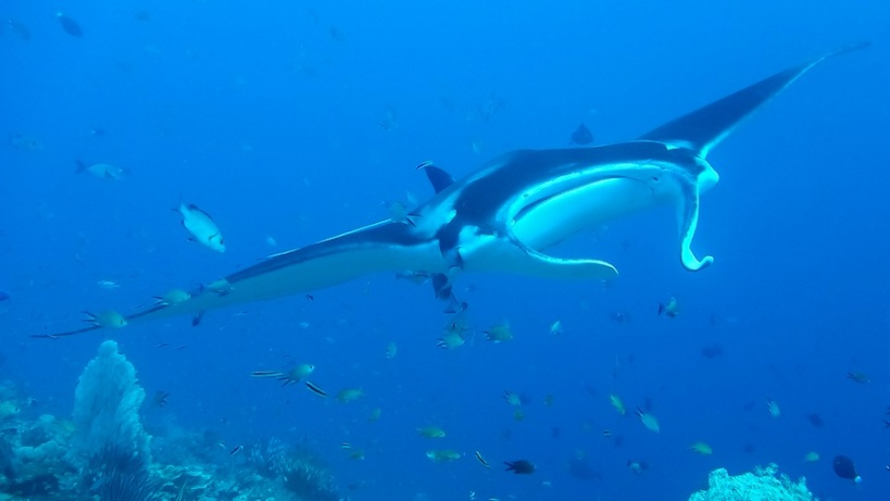 Another manta moment - this is a giant ocean manta
