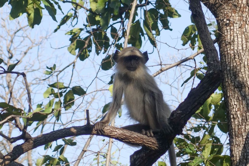 Languor monkey
