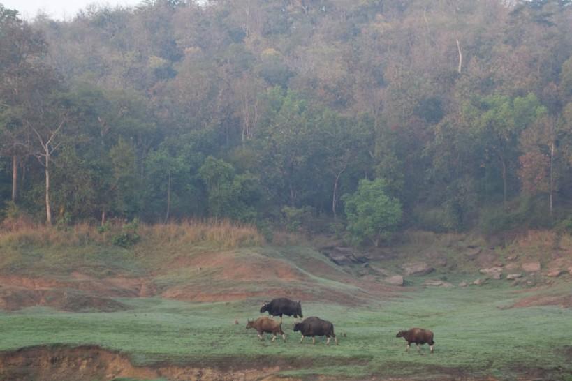 Gaur in Satpura