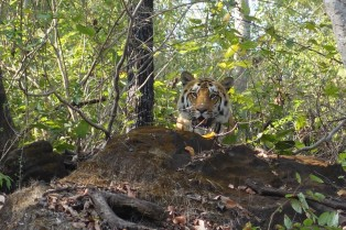 Satpura, India: our tiger!