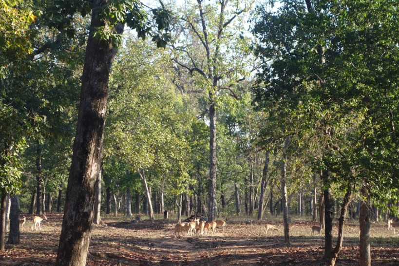 Spotted deer by Churna camp