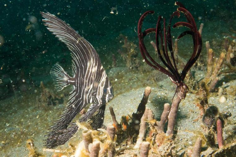The  very special zebra bat fish