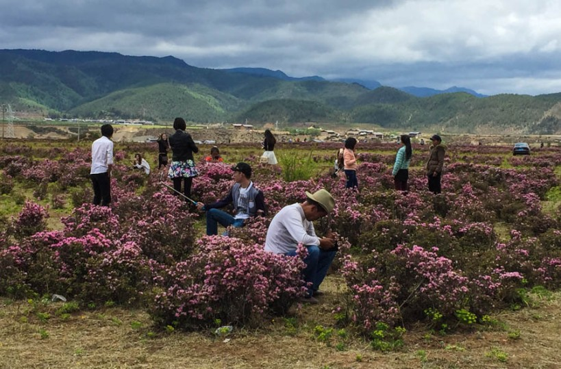 Surreal sight of selfie-taking Chinese amidst the azaleas 'Les Chinoises aux azaleas'