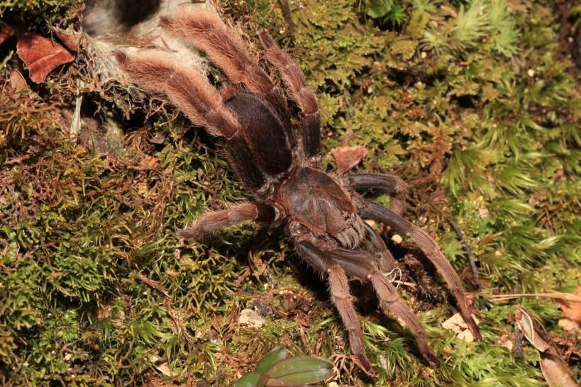 Tarantula - Theraphosida Hoggsii