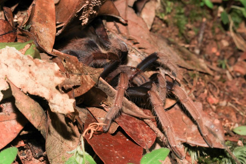 Tarantula emerging from nest