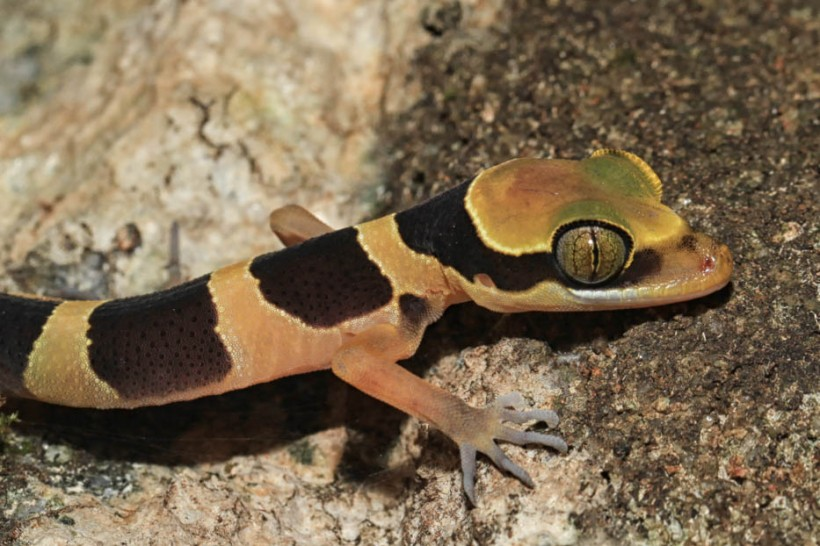 Beautiful slender-toed gecko