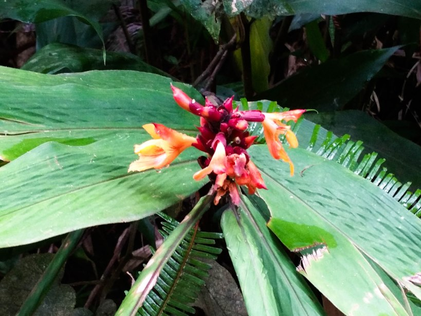 Wild ginger flower