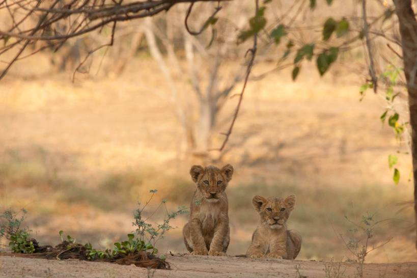 Dear little 3 month old cubs by the kill