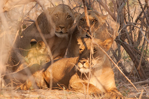 Extremely grumpy lionesses dont appreciate being stalked!