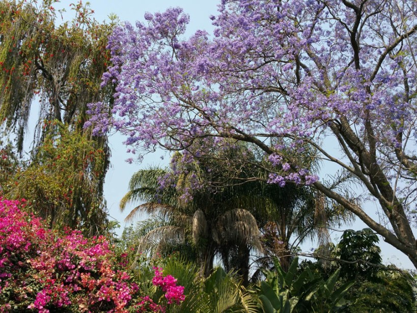 Jacaranda trees in York Lodge garden