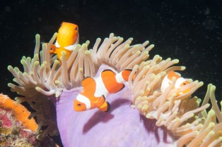 Nemo - or anemone fish -guarding his patch