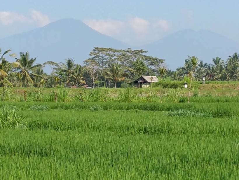 Volcanos overshadow the rice fields