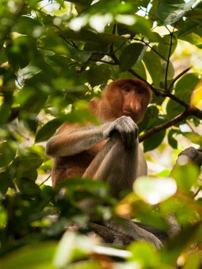 Proboscis monkey also rare