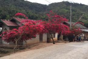 Gorgeous bougainvillea along the road