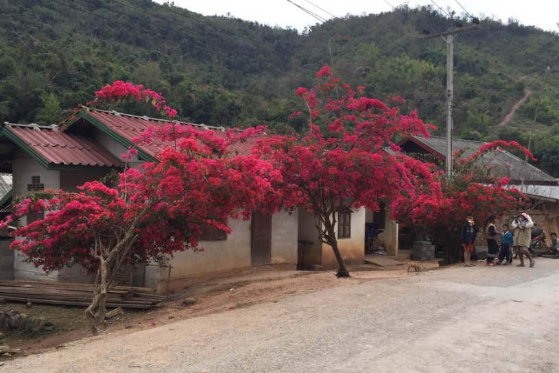 Gorgeous bougainvillea along the road