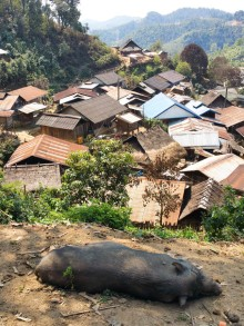 A pig's eye view of Hmong village