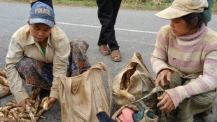 Women chopping wild bamboo shoots ready for collection