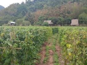Fields of beans...