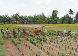 Marigold harvesting for temple garlands